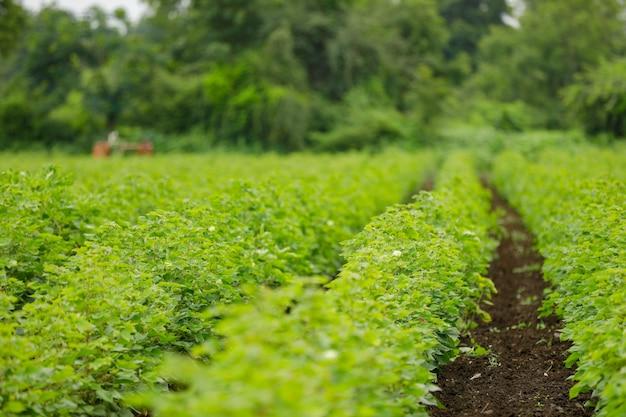 Groen katoen veld in india
