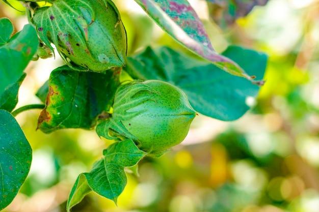 Groen katoenveld
