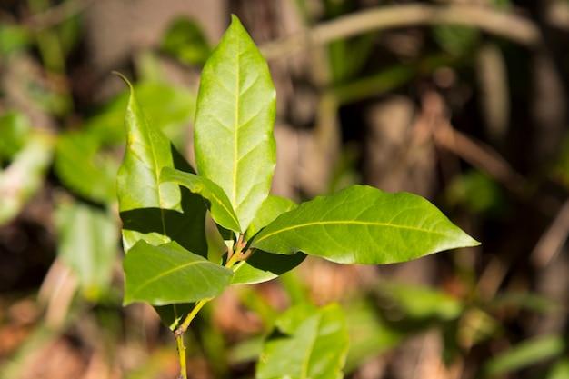 Groen laurierblad groeit in de natuur, kruiden ingrediënt achtergrond jonge bladeren van de laurierboom, vroege lente,
