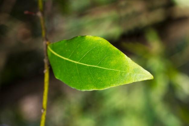 Groen laurierblad groeit in de natuur, pittige ingrediëntenachtergrond, close-up van een blad op een tak