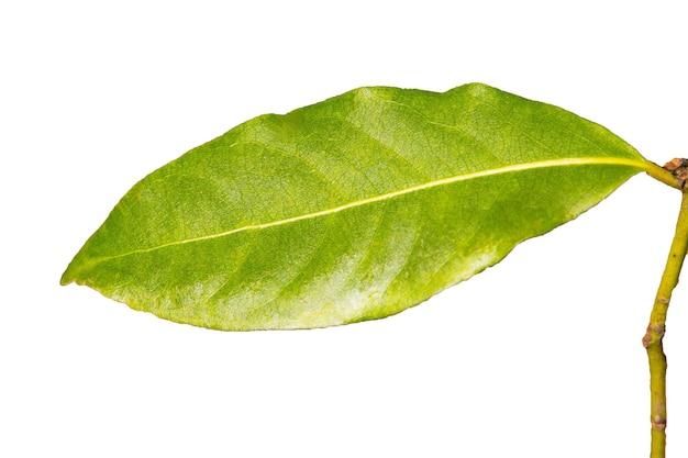 Groen laurierblad op een witte achtergrond isolaat, kruideningrediënten de achtergrond, de jonge bladeren van de laurierboom, vroege lente