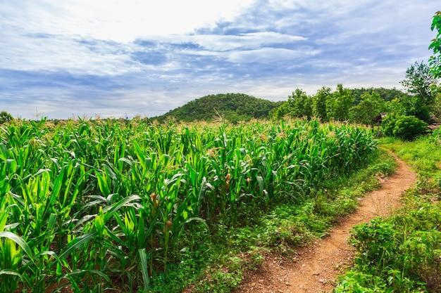 Groen maïsveld in landbouwtuin