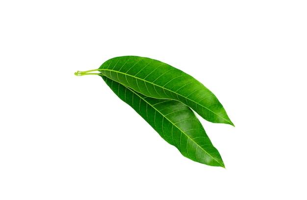Groen mangoblad dat op witte achtergrond wordt geïsoleerd