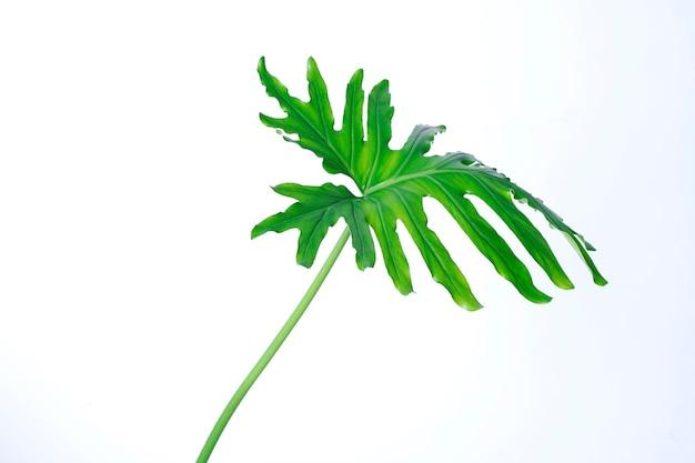 Groen monstera verlof dat op witte achtergrond wordt geïsoleerd