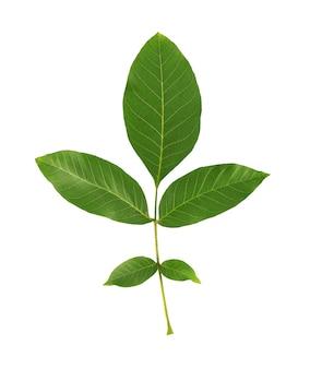 Groen okkernootblad dat op witte ruimte wordt geïsoleerd. tak van walnoot.