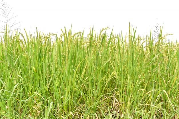 Groen padieveld dat op witte achtergrond wordt geïsoleerd.