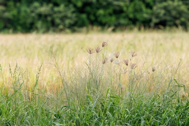 Groen padieveld en land in platteland in thailand