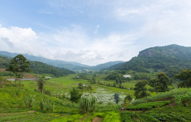 Groen padieveld in azië in de lentetijd