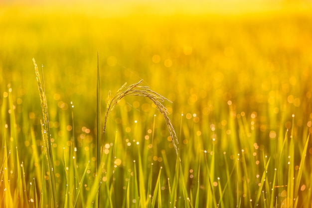 Groen padieveld in thailand