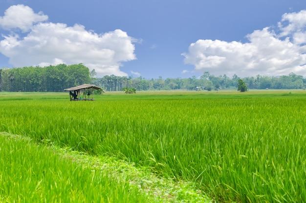 Groen padieveld met blauw bsky wolkenplatteland met het landschapsaard van de landbouwershut in aziatisch land
