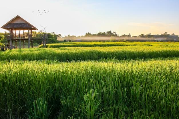 Groen padieveld met blauwe hemel, natuurlijke achtergrond.