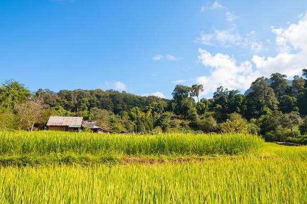 Groen padieveld met blauwe hemel