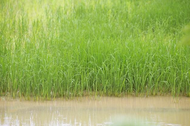 Groen padieveld met water.