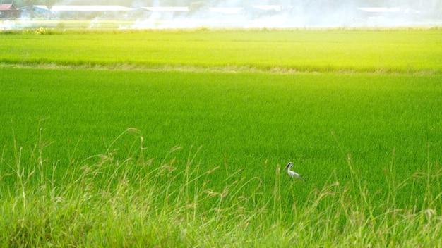Groen padieveldlandschap