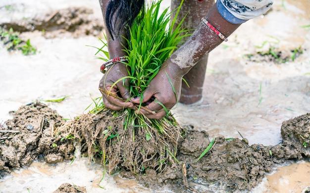 Groen padiezaad voor het planten van rijstveld in kathmandu, nepal