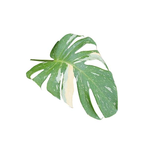 Groen palmblad dat op wit met het knippen van weg wordt geïsoleerd