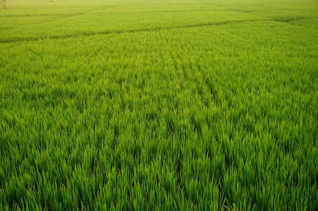 Groen rijstveld