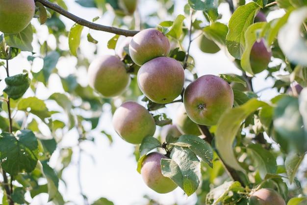 Groen-rode appels hangen aan tak van een appelboom. oogsten. landbouw