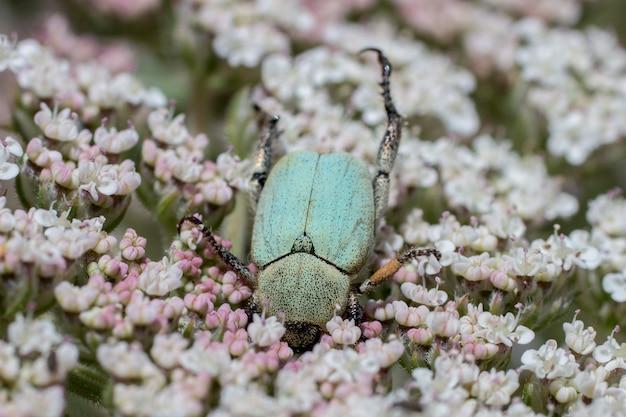 Groen roze chafer (cetonia aurata) kever