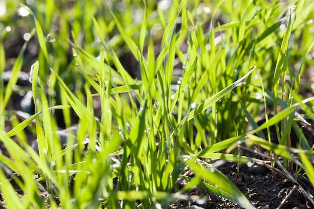 Groen sappig gras in het voorjaar met druppels water na de regen of van de dauw, close-up