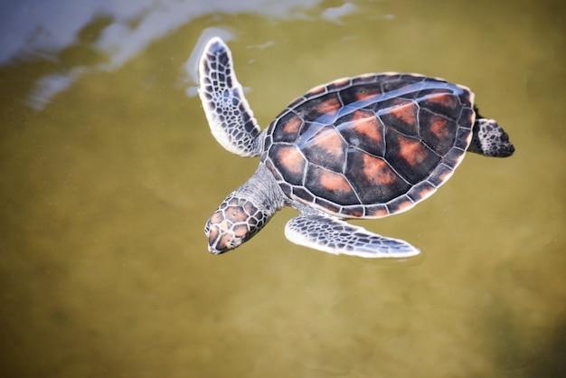 Groen schildpaddenfarm en zwemmen op watervijver / karetschildpad zeeschildpad jongetje 2-3 maanden oud