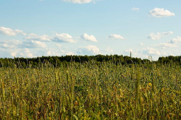Groen tarweveld tegen de achtergrond van het bos en de blauwe lucht, zomer