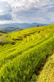 Groen terrasvormig rijstveld in pa pong pieng