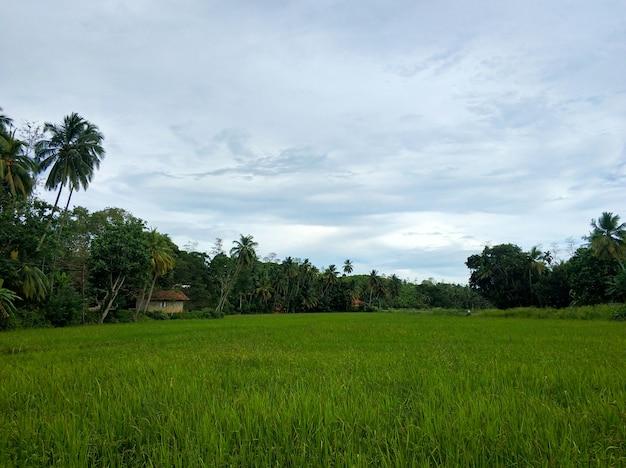 Groen veld in de jungle van sri lanka