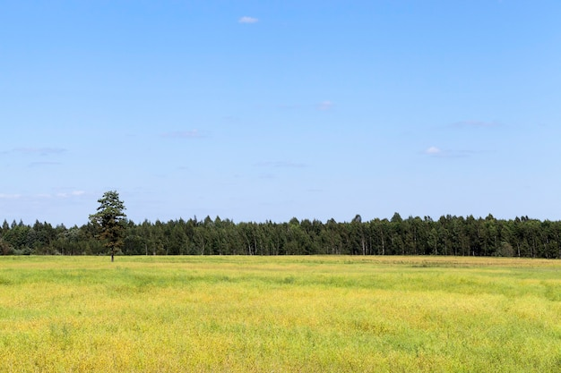 Groen veld met graan en bos aan de horizon, tegen een blauwe wolkenloze hemel