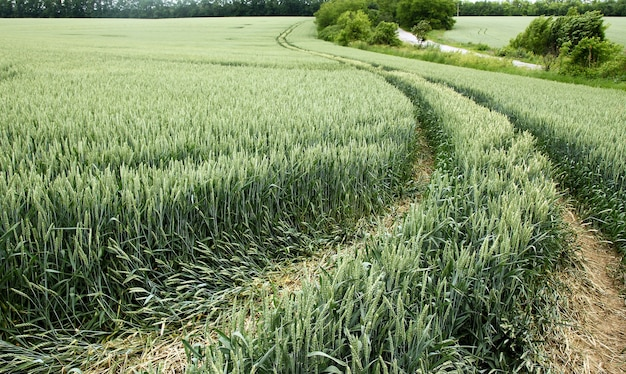 Groen veld met groene tarwe en weg