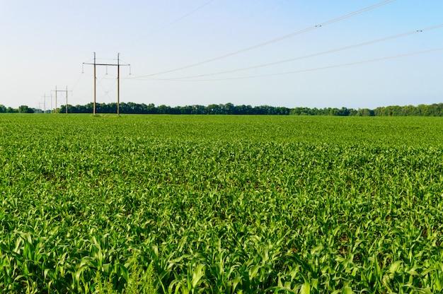 Groen veld van jonge maïs, palen met draden in de verte