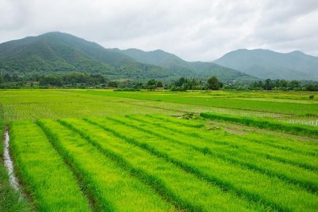 Groen veld van rijstplant met water