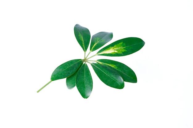 Groen verlof dat op witte achtergrond wordt geïsoleerd