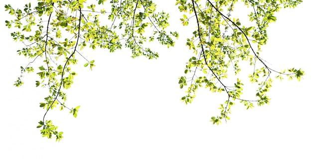 Groen verlof isoleren op witte achtergrond