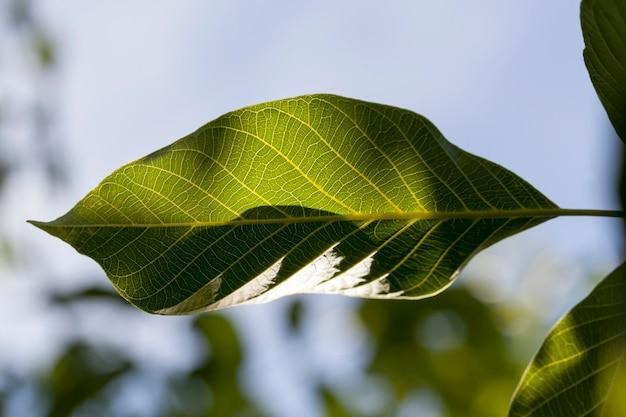 Groen vers gebladerte van een walnoot in de lente, verlicht door zonlicht, close-up