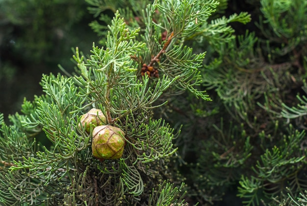 Groenblijvende boom thuja