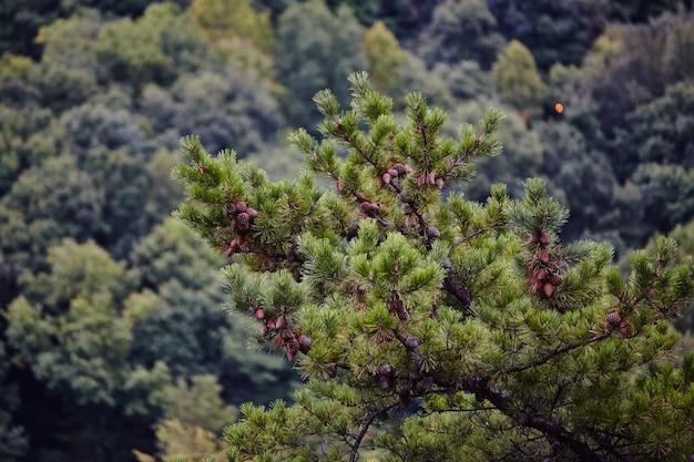 Groenblijvende struik of boom op de voorgrond met blauwachtige borstel op de achtergrond