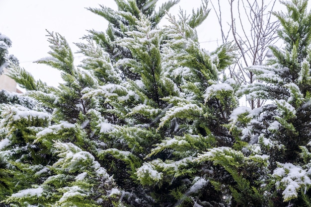 Groenblijvende thuja-boom bedekt met sneeuw