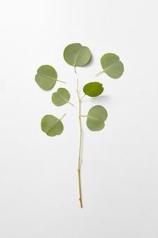Groenblijvende verse natuurlijke tak en gescheiden bladeren van eucalyptusplant op een lichtgrijze muur, kopieer ruimte. plat leggen.