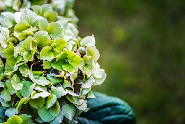 Groenbloemige hortensia's gekoeld met waterdruppels.
