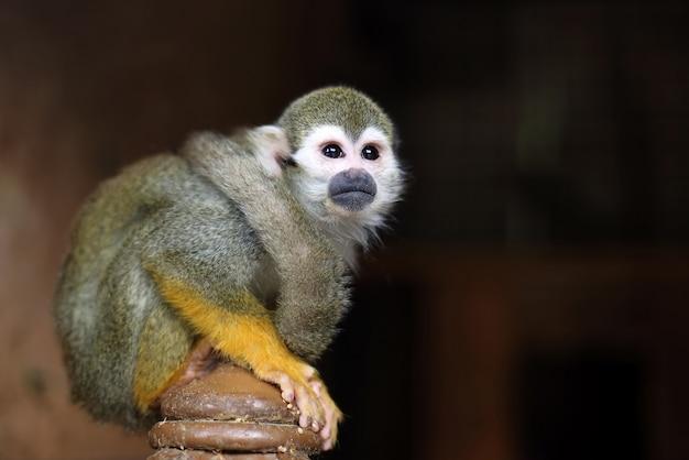 Groene aap kijkt in de verte zittend op het podium