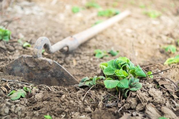 Groene aardbeistruik in de tuinlente tijdens het verzepen en verzorgen