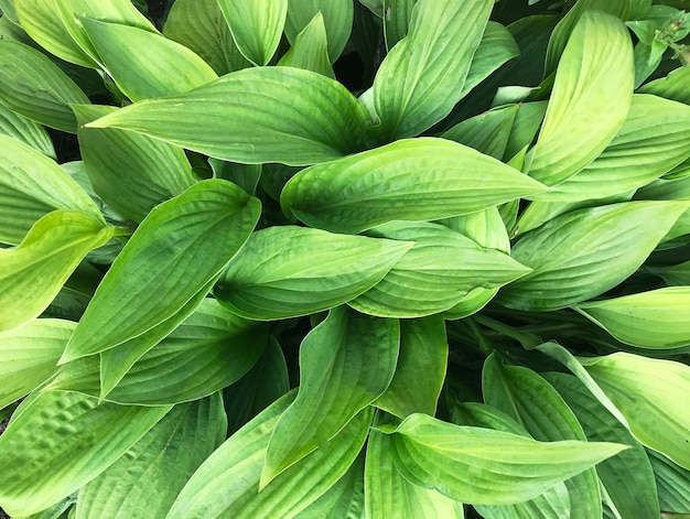 Groene achtergrond bestaande uit bladeren van gastheren close-up met gemarkeerde focus.