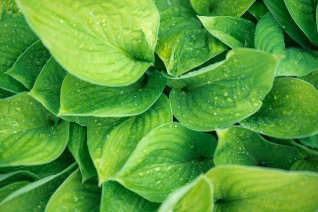 Groene achtergrond de plant na de regen, druppels water op de grote bladeren van de gastheren.