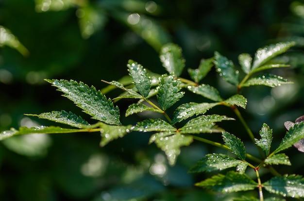 Groene achtergrond met bladeren en druppels water. groen gebladerte van bladeren en regen, close-up, selectieve nadruk.