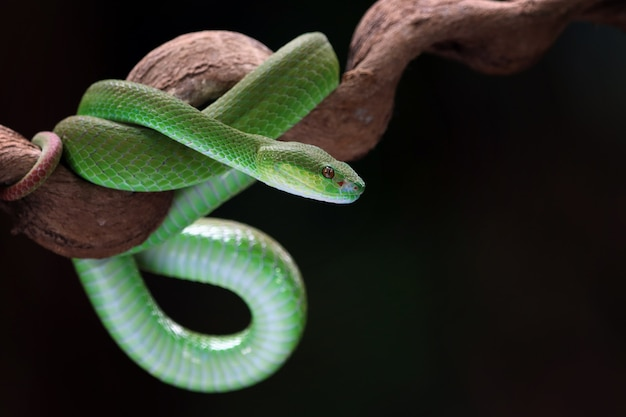 Groene albolaris slang zijaanzicht dier close-up groene adder slang close-up hoofd