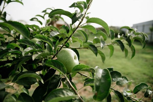 Groene appels op een tak