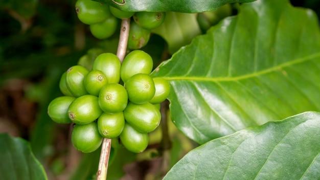 Groene arabica koffieboon in een tuin.