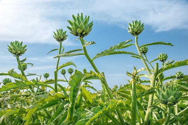 Groene artisjokken die opgroeien in een veld tegen de blauwe hemelachtergrond