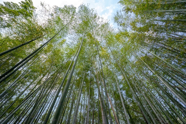 Groene bamboe bosaardachtergrond in japan.